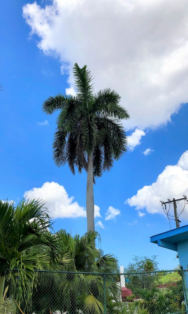 streets of cuba palm tree