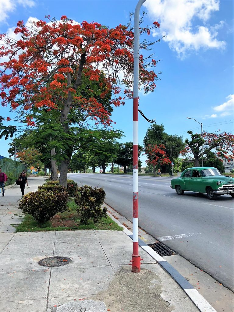 streets of cuba red tree